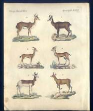 Antilopen und Gazellen - Tiere - Bertuch-Kupferstich 1810