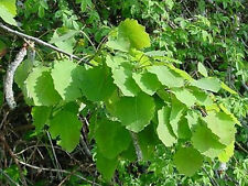 Aspen Multi-Potency Bach Flower Essence Remedy 15 ml - For Anxiety & Vague Fears
