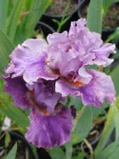 *** ASK ME NICELY ***  TALL BEARDED IRIS