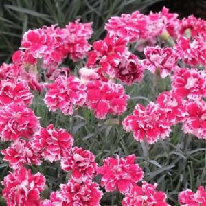 Dianthus Whatfield Gem - 3 x Alpine Perennial Pink Plants in 9cm Pots