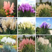 Pampas Grass Garden Ornamental Plants Flowers Cortaderia Grass 200 Pcs Seeds New