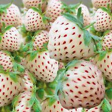 Erdbeerpflanzen 'Ananas' 25 Frigo Pflanzen