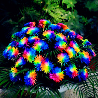 200 PCS Seeds Rainbow Chrysanthemum Bonsai Plants Perennial Flowers Home Garden