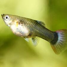 Tropical Live Aquarium Fish Eggs Ebay
