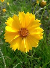1000 YELLOW SAND COREOPSIS Lanceolata Tickseed Seeds