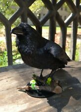 Stuffed black raven Taxidermy Bird Mount