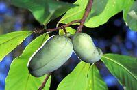 Indianerbanane - Asimina triloba - Pawpaw 6+ Samen - Saatgut Winterhartes Obst