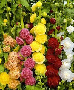 Seeds Hollyhock Mallow Terry Double Mix Giant Flower Perennial Garden Ukraine