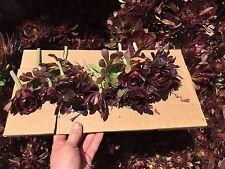 "Red Aeonium-  ""Jack Catlin""  20 Cuttings 3- 4"" tall  Succulents"