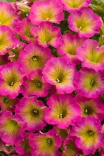 50 Yellow Pink Petunia Seeds Containers Hanging Baskets Flowers Annual Seed 974