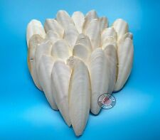 Prevue Bulk Buy 25 Piece Small 4 inch Cuttlebone No Metal Hangers.