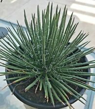"Agave Geminiflora, Twin Flowered, Spaghetti Strap, 8 - 10"" Diameter 5 gallon pot"