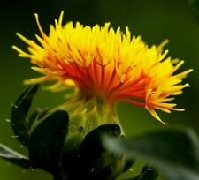 Saffron Seeds -YELLOW- Rare -  Easy to Grow -  theseedhouse -  50+ Organic Seeds
