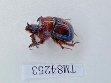 Tm84253 Scarabaeoidea Geotrupidae dung beetle Bolboceratidae? Yunnan