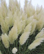Rare 500 Pcs White Pampas Grass Seeds Ornamental Plant Flowers Grass Seeds.