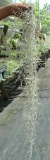 spanish moss usneoides tillandsia airplant. air plant bromeliad oahu hawaii