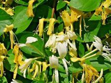 15 Japanese Honeysuckle Seeds - Lonicera japonica