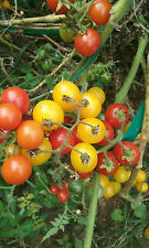 Mix of Small Yellow and Red Cherry Tomatoes! 25 Seeds - Comb. S/H