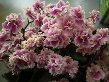 African Violet PLUG PLANT Herritage Frolic Semimini Usambaraveilchen