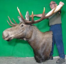 New Moose Mount Taxidermy Head, Huge Canadian Bull!#S10 Deer Antler Chandelier