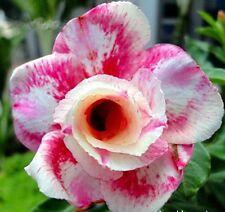 Adenium Obesum Desert Rose - CX Wanjai - Perennial Bonsai Seeds (5)