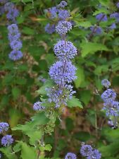 'Grand Bleu' Caryopteris Clandonensis 20-25cm In 2L Pot Hedging Shrub