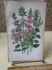 Vintage Print,WOOD BETONY,Plate164,Flowering Plants,Great Brit,Pratt