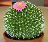 US-50Pcs Rare African Cactus Seeds Mixed Succulent tree Plant