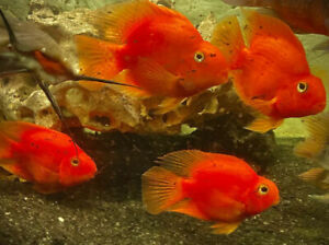 Proven Egg Layer Parrot Fish