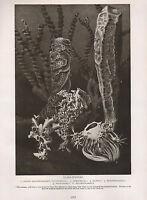1911 Natural History Doble Costado Estampado ~ Glass-Sponges/Radiolarians