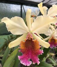 Do - Cattleya Triumphans, rex x dowiana, Classic rare Orchid hybrid!