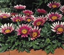 Gazania Kiss Series Rose Annual Seeds