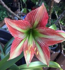 5 x plump viable seeds .Freshly harvested - Species Hippeastrum/Amaryllis