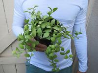 Dischidia Ointha Plant -A