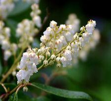 LIVE rare plant Pieris Floribunda hardy broad leaf evergreen -34C-30F