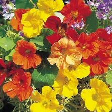 NASTURTIUM TALL ! 15 SEEDS! TASTE PEPPERY LIKE WATERCRESS! TALL CLIMBING
