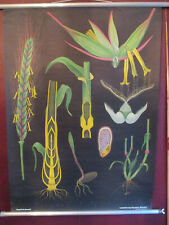 Große Schulwandkarte Rollkarte Weizen original Jung Koch Quentell Print 1957