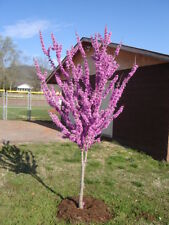 New listing 1 Eastern redbud tree (Cercis canadensis) 3 to 4 feet tall-$10.99 each