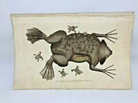 Toad of Surinam - 1783 RARE SHAW & NODDER Hand Colored Copper Engraving