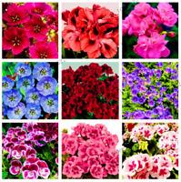 100 PCS Seeds Geranium Plants Perennial Pelargonium Peltatum Flowers Bonsai New