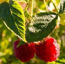 150 Samen der Himbeere (Rubus idaeus), leckere Früchte, Bienenweide, winterhart
