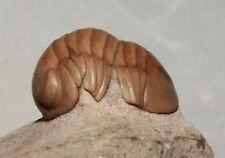 Russian trilobite Nileus armadillo fossil Russia