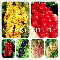 Currant Fruit Panamerican Seeds Plants Gooseberry Kimi Bonsai Lantern Tree Red