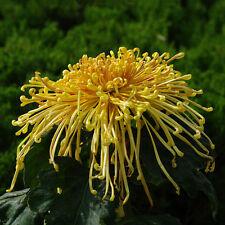 Aromatic Spices Plant Chrysanthemum Seeds Medicinal Heirloom Garden Set 1.US