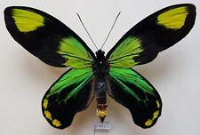 Ornithoptera victoriae Reginae (Oddities form) - North Malaita island