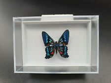 Beautiful Real Butterfly in a Jewel Box, Gift, Wall Art, Decor, 3D,Taxidermy 001