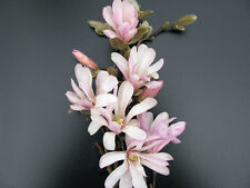 Sternmagnolie Magnolia stellata Rosea Frühlingsblüher