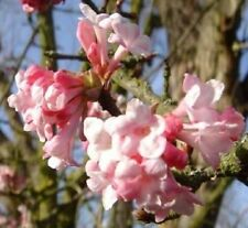 VIBURNUM BODNANTENSE DAWN SHRUB 2-3ft POTTED Scented Winter Flowers + FREE GIFT