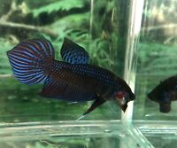 betta fish male Wild Blue Red Spide Tail BAF435