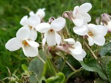 Viola Odorata Alba -9cm Pot- Native Wildflower Perennial- PAY P&P ONCE ON PLANTS